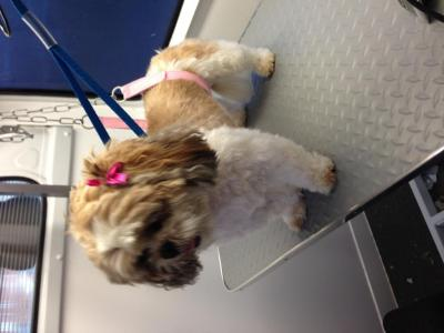 IMG_0766 Millie shih tzu after.JPG