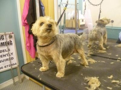 V-Yorkshire Terrier After 1.jpg